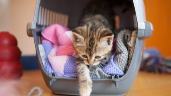 Lilyput kitten settling in at Battersea.