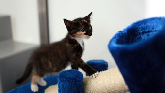 Shadow the kitten exploring his scratch post at Battersea.