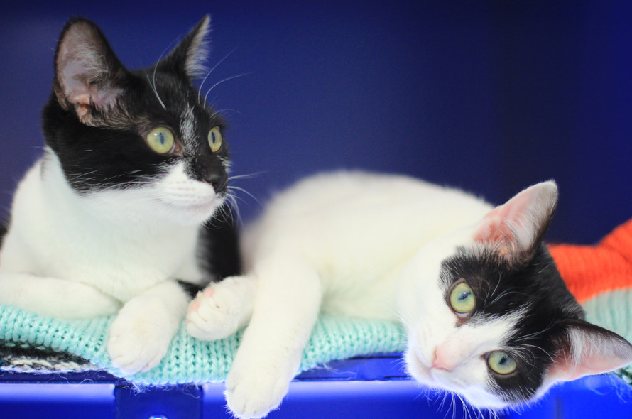Battersea Cat Adoption Process