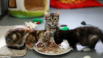 Kittens Freya, Pandi & Daisy tucking into dinnner at Battersea.